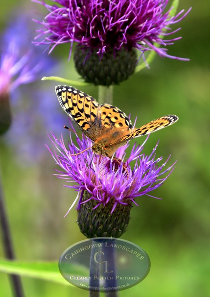 Dark Green Fritillary butterfly repaired-2.jpg
