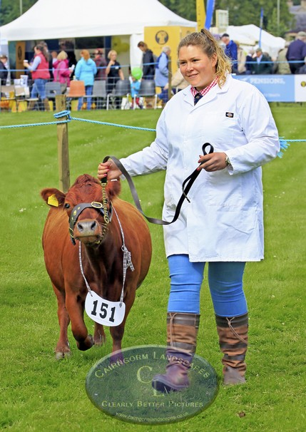 Fully-grown Dexter cow Grantown Show 5503-2.jpg