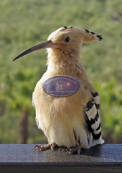 Hoopoe website.jpg